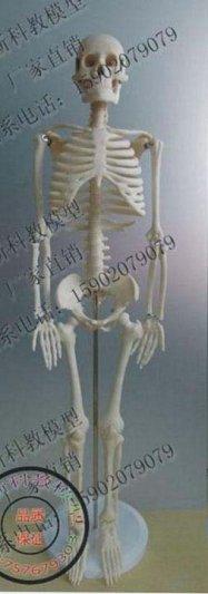 人体骨格模型 85cm