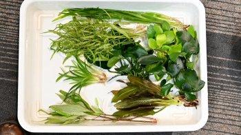 【トロピカオリジナル】W600�淡水水槽 水草+流木セット