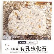 下白岩 有孔虫化石ヌガー