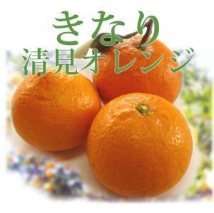 ◆果肉はやわらか、とてもジューシー◆木成り清見オレンジ 【1kg】 和歌山県産