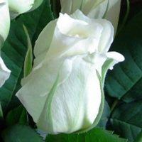 追加用のバラ1本(白)