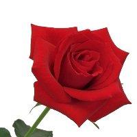 追加用のバラ1本(赤) 「ローズエクスプレス用」